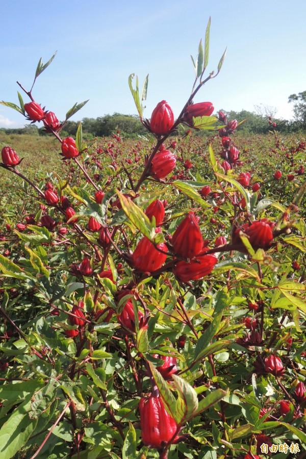 保健作物洛神葵受歡迎,但南迴地區卻傳出滯銷。(記者張存薇攝)