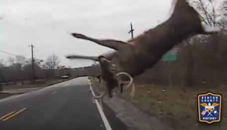 員警開車巡邏時,路邊竄出一隻鹿,撞上警車引擎蓋,而這隻鹿翻滾兩圈後掉落地面,隨即爬起毫髮無傷地跑走,令人嘖嘖稱奇。(圖擷取自Kenton County Police Department臉書粉絲專頁)