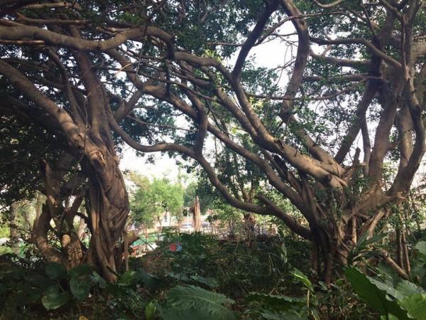 楊梅區四維新村即將被砍的二棵百年榕樹。(陳仰聖提供)