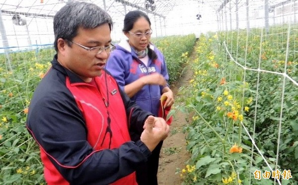 賴建良(左)棄教職和太太曾宥真(右)在溫室栽種玉女小番茄。(記者楊金城攝)
