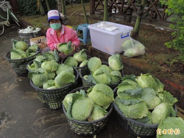農民現場展出當天現採的高麗菜,希望國人多購買國產農產品。(記者林孟婷攝)