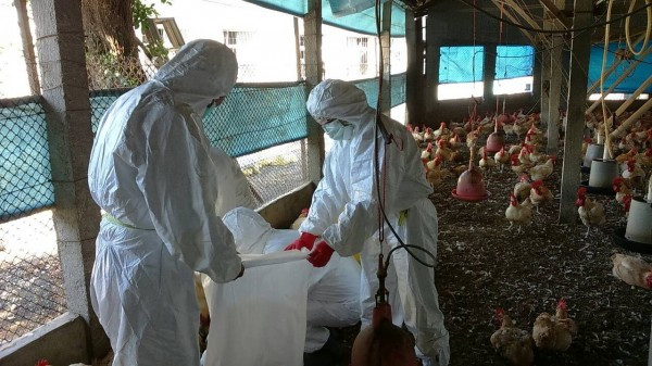 感染疫情的雞場,1萬多隻雞隻全被撲殺。(圖由彰化縣動防所提供)