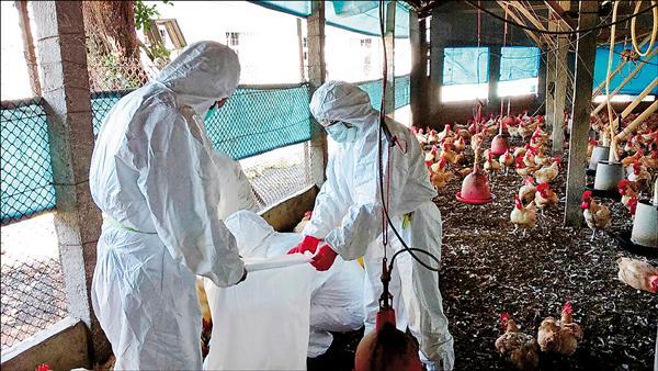 彰化竹塘感染疫情的雞場,一萬多隻雞全被撲殺。(圖彰化縣動防所提供)