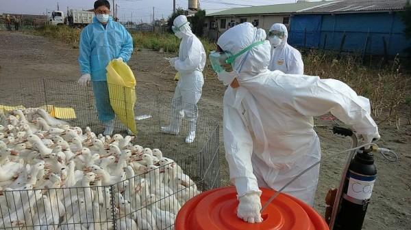 彰化縣大城鄉1肉鴨場確診為新型H5亞型高病原性禽流感,全場448隻肉鴨全數撲殺。(圖由彰化縣動物防疫所提供)