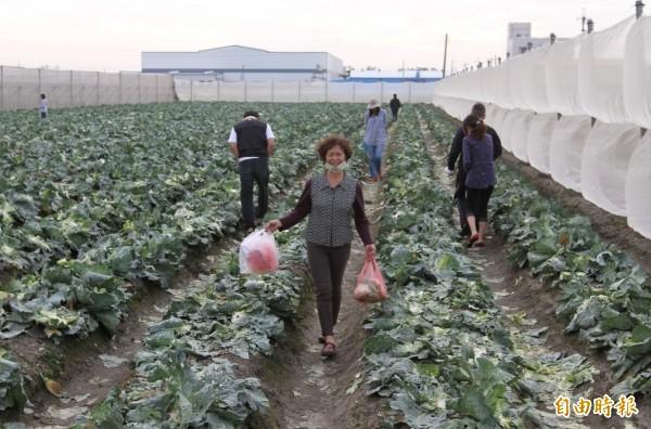 來自田中鎮的黃姓婦人提了2大袋高麗菜心回家。(記者陳冠備攝)