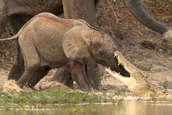 辛巴威一頭小象喝水時,慘遭鱷魚一口咬中鼻子。(圖擷取自《太陽報》)