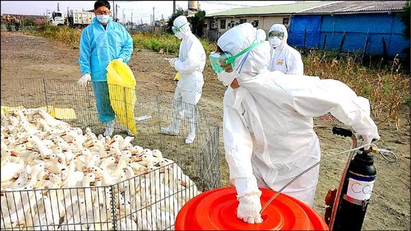 大城鄉1處肉鴨場確診為新型H5亞型高病原性禽流感,448隻肉鴨全撲殺。(圖由彰化縣動物防疫所提供)