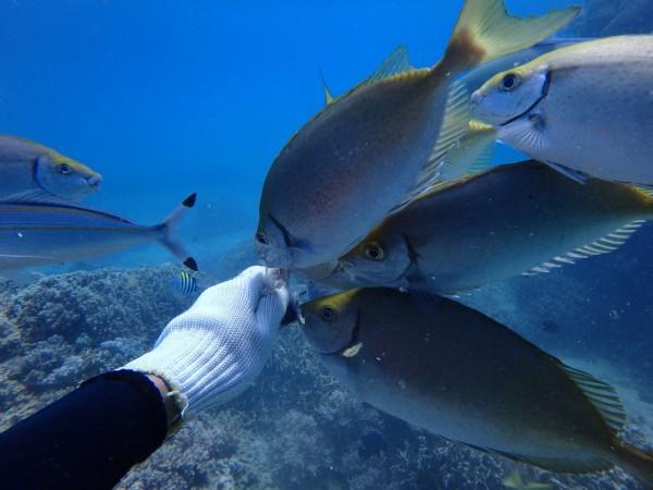 後壁湖餵魚區魚群親人,受潛客喜愛。(記者蔡宗憲翻攝)