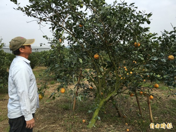 看著整株果樹剩下不到幾顆果實,果農陳漢祥很無奈。(記者黃淑莉攝)