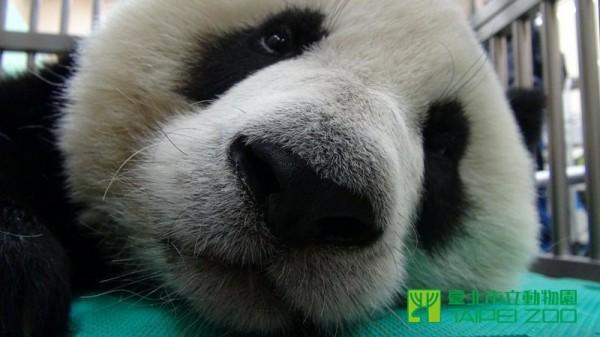圓仔現已恢復進食。(圖片由台北市立動物園提供)