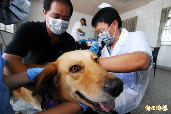 衛福部疾管署統計資料顯示,今年截至今天為止,國內約有1萬6600人次被動物抓咬傷,其中約4800人次有施打狂犬病疫苗。圖為犬隻施打狂犬病疫苗。(資料照,記者張存薇攝)