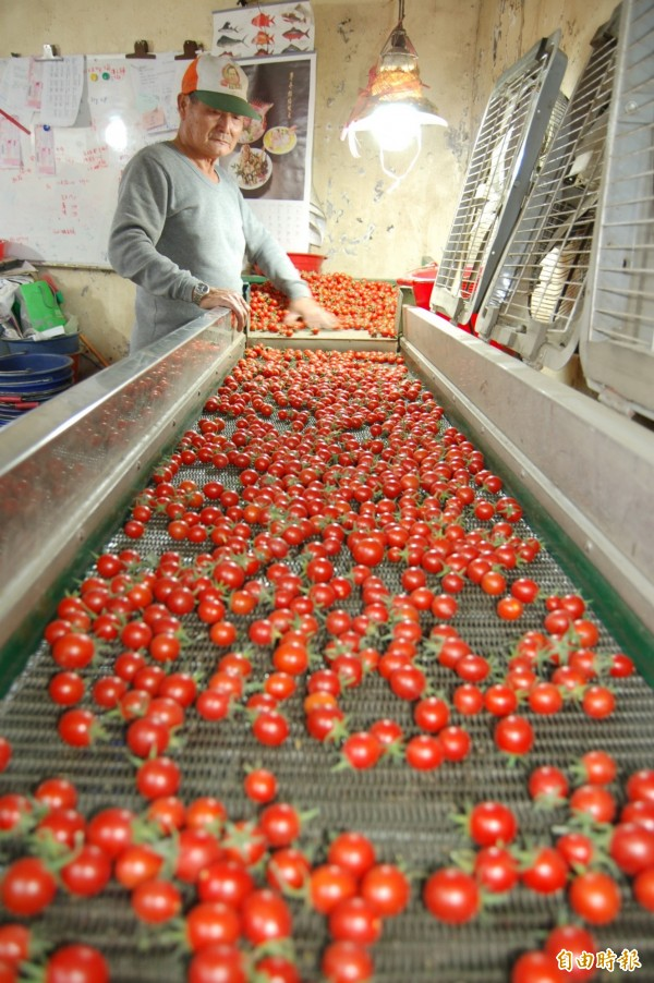 鹽水麻油寮小番茄專業區的小番茄受市場歡迎。(記者楊金城攝)