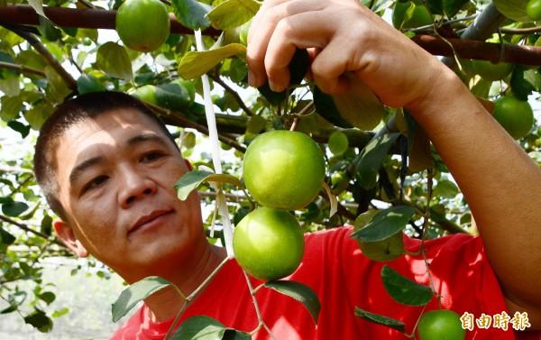 台南市關廟蜜棗開始採收,新農人陳榮河認為今年暖冬,讓果肉更有口感。(記者吳俊鋒攝)