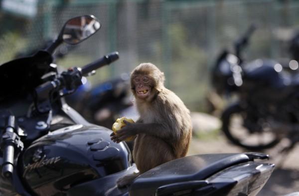 印度北部一名巴士司機睡著,猴子趁對方不注意時啟動引擎開車,導致公車追撞兩台停靠的巴士。圖為示意圖。(資料照,美聯社)