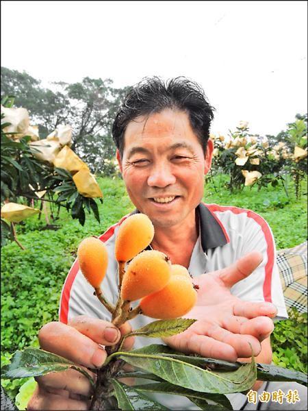 農友細心呵護嘗試種植的「長崎早生種」枇杷,希望讓台灣從1月到4月,都吃得到枇杷。(記者張存薇攝)