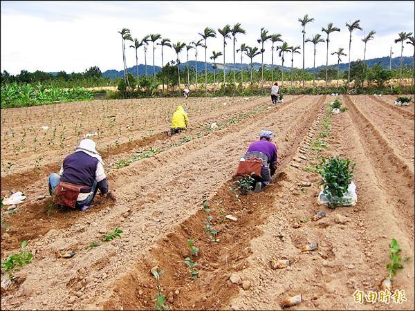 鹿野地區復育茶樹今年每公頃最高補助九萬元。(記者王秀亭攝)