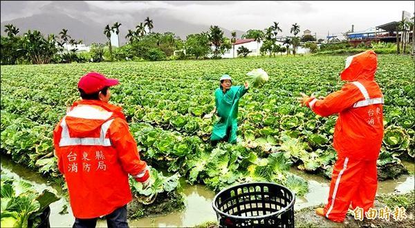 關山義消到高麗菜田裡協助農民搶收高麗菜。(記者王秀亭攝)