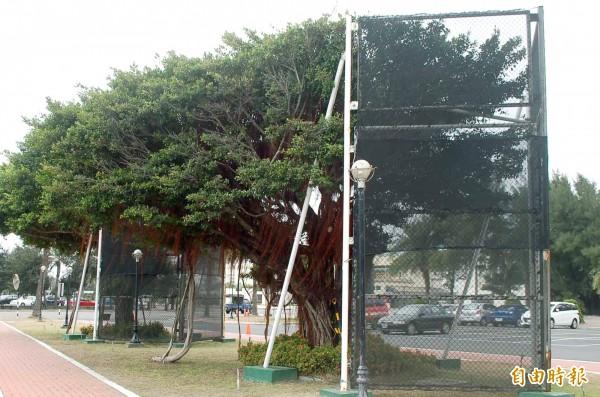 社會團體市府不要因為「設計之都」的目標,讓老樹「被設計」。圖為示意圖,與本文無關。(資料照,記者鄭旭凱攝)
