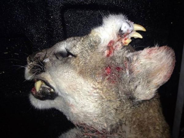 美國有獵人上周射殺一隻美洲獅,走近一看卻發現牠頭上竟然長出「尖牙」,是極為罕見的突變案例,引發當地動物學家強烈關注。(圖擷取自Idaho Statsman)