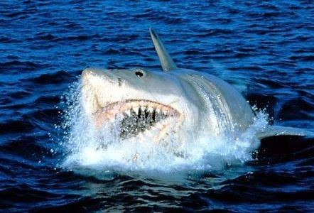 日本沖繩水族館展示大白鯊,才展示三天,這隻大白鯊突然駕鶴西歸。(圖擷取自網路)
