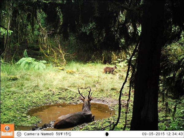 台灣水鹿無視於在池邊「守望」的山羊,在九月初的陽光下舒服地泡澡。(林務局提供)