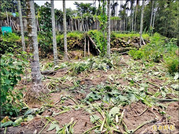 古坑鄉樟湖村曾發生整片芋頭園遭台灣獼猴剷平,一顆收成也沒有。(記者黃淑莉攝)