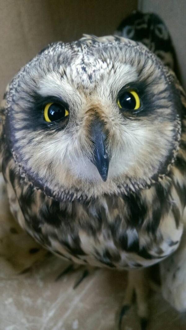 短耳鴞模樣可愛。(記者林近翻攝)