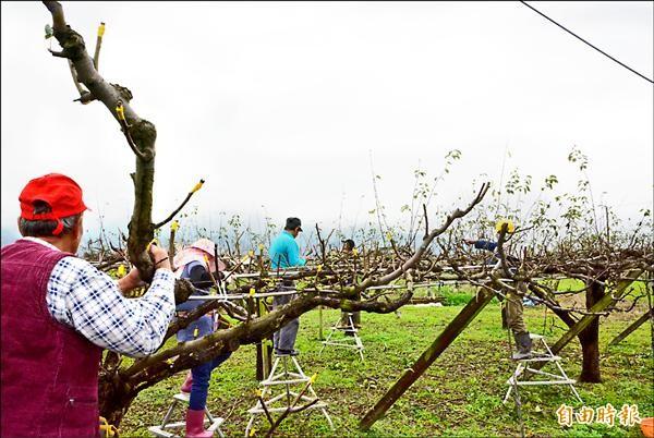 農委會推行高接梨保險,盼補助農民寒害、颱風受損災情。(記者朱則瑋攝)
