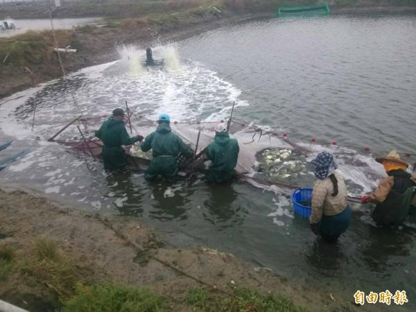 由於霸王級寒流襲台,部分「過冬水」魚塭的漁民急忙收成。(記者王捷攝)