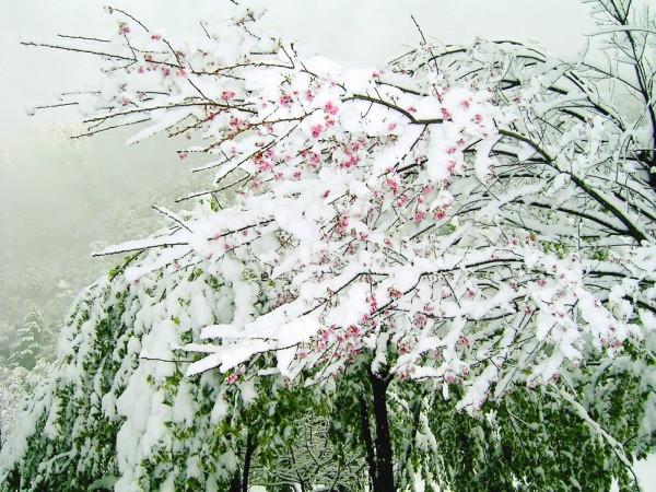 10多年前奧萬大下雪櫻花被冰雪覆蓋,景致美麗。(南投林管處提供)