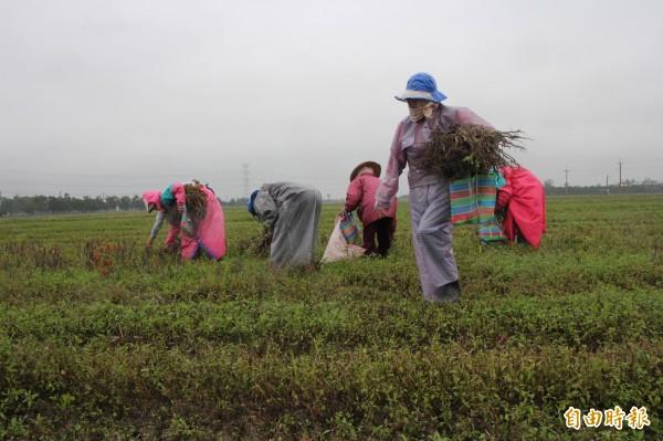 老鷹紅豆農友和民眾冒雨低溫中採收。(記者陳彥廷攝)