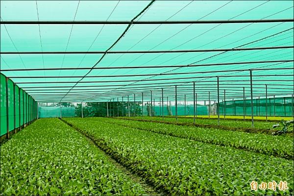寒流來襲,氣溫偏低,葉菜成長緩慢。(記者詹士弘攝)