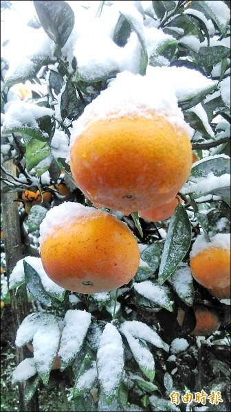 新竹縣昨天傳出茂谷柑被冰雪覆蓋的災情。(記者黃美珠攝)