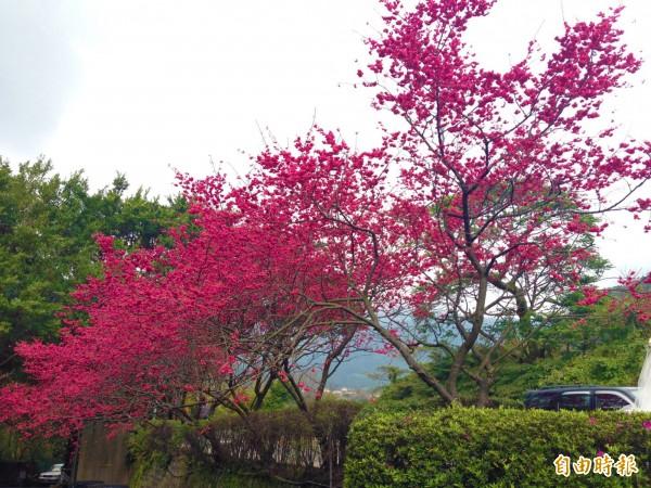 台北市政府花卉實驗中心指出,這波寒流雖讓陽明山也降雪,但雪量少、時間短,且目前櫻花、杜鵑花都還沒綻開。(資料照,記者何世昌攝)