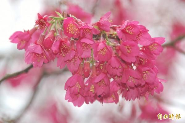 針對陽明山花季即將到來,台北市政府花卉實驗中心表示,目前統計被凍傷的花樹不到一成,且在寒流低溫作用下,櫻花反而有機會開更多(資料照,記者陳璟民攝)