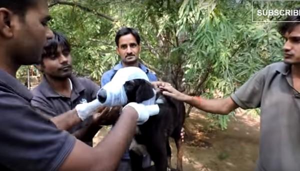救援人員細心包紮並照料卡魯。(圖擷自YouTube)