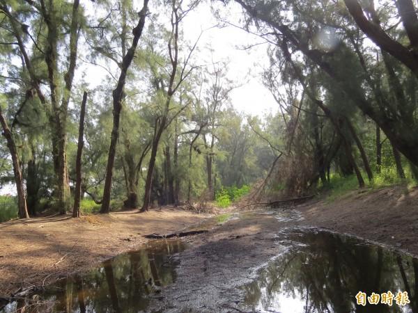 南大生態系在台江國家公園城西防風林潮溝發現有多種可以忍耐較高鹽度蛙類。(記者蔡文居攝)