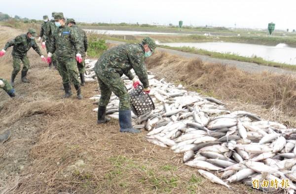 國軍在台南七股和學甲協助清除魚屍。(記者楊金城攝)