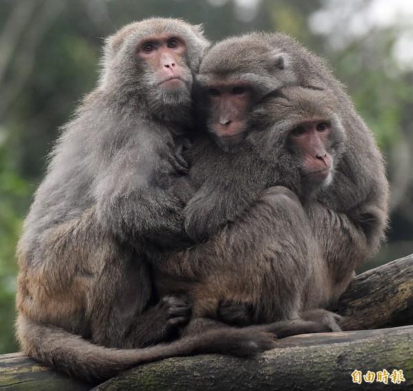 今(6)日受到寒流影響,各地氣溫下降,連猴子都抱在一起取暖。(記者廖振輝攝)