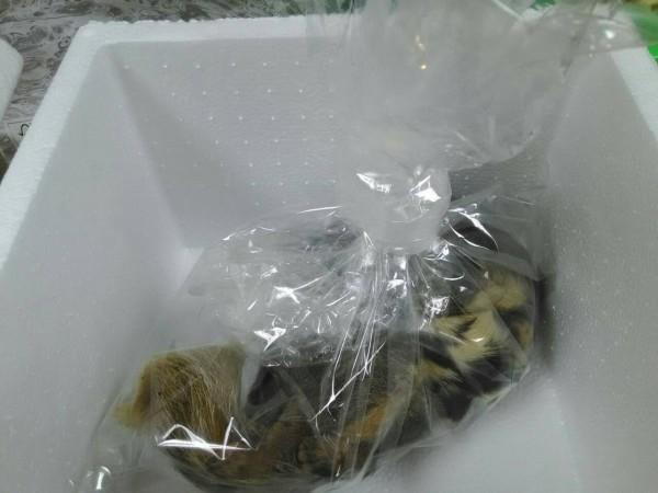 高雄市杉林區一名男大生遭狂犬病鼬獾咬傷,圖為肇事鼬獾。(圖由防檢局提供)