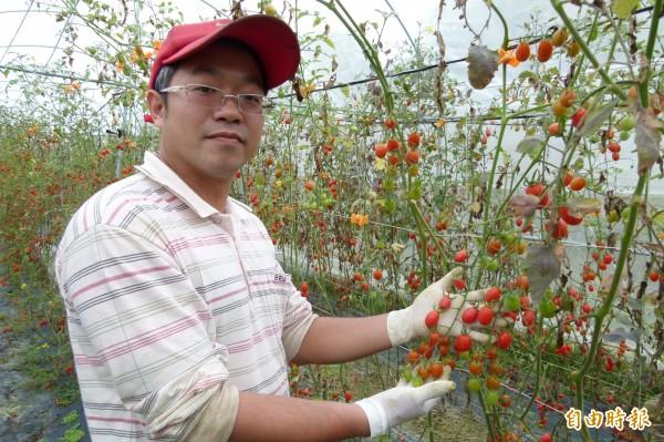 七年級農夫陳彥鈞開放免費採小蕃茄。(記者蔡宗勳攝)