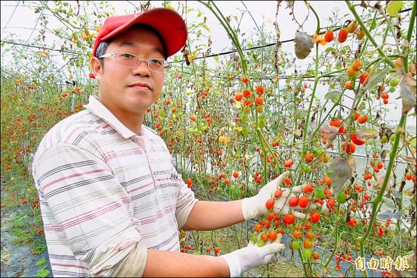受寒害影響,七年級青農陳彥鈞損失慘重,但仍開放免費採小蕃茄。(記者蔡宗勳攝)