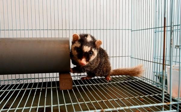 今年狂犬病鼬獾傷人事件頻傳,不到2個月就傳出5起案例。(花蓮林區管理處提供)