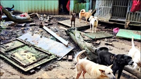 新北市淡水區一處私人狗場有不當飼養情形。(新北市動保處提供)