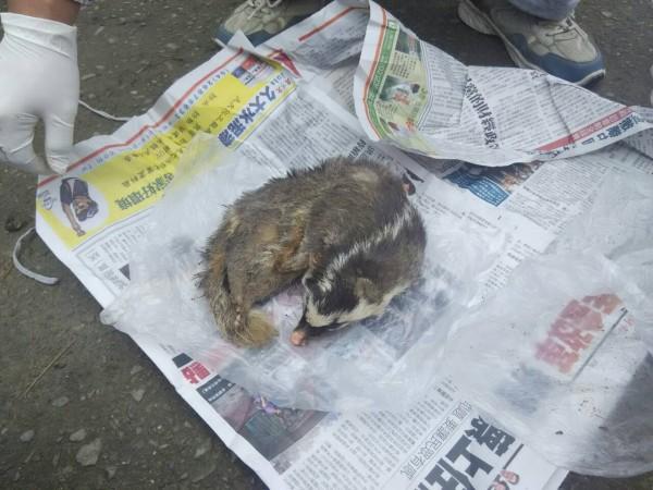 本月17日晚上闖入民宅咬傷人的鼬獾確定感染狂犬病。(記者黃淑莉翻攝)