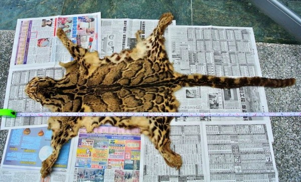 林務局花蓮林管處意外獲贈的雲豹毛皮,全長163公分。(記者花孟璟翻攝)