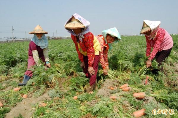 將軍種植的胡蘿蔔產量銳減,「嘸采工」。(記者楊金城攝)