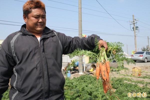 因低溫霜害加上冬雨,台南胡蘿蔔今年體型變小。(記者楊金城攝)