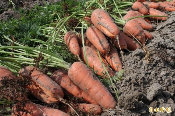 胡蘿蔔長不大還容易裂開。(記者楊金城攝)