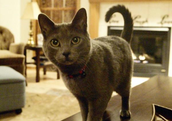 貓咪易受驚嚇,原則上不能託運。(美聯社)